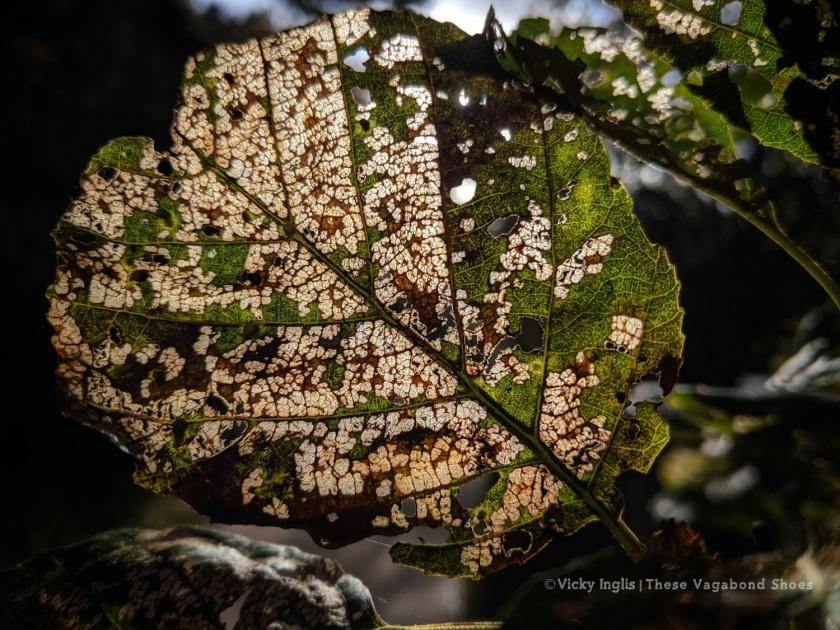 tanar_leaf_1_sm