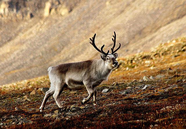 640px-Svalbardrein_pho
