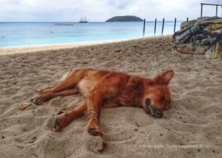 red_dog_1.1