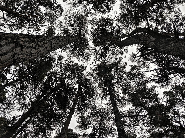 abernethy_forest_2_sm