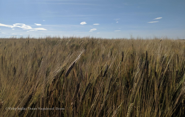 barleyfields_1.1